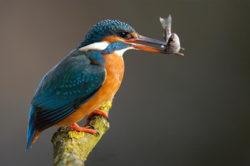 martin il pescatore