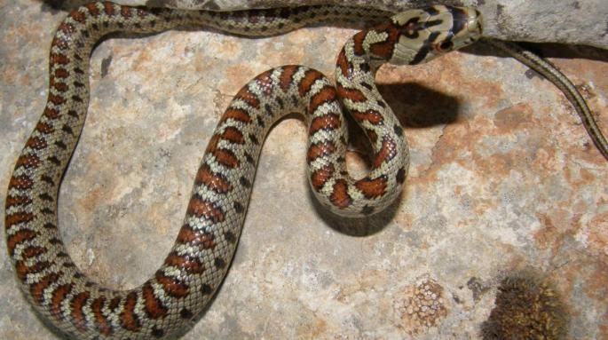 Il serpente leopardato